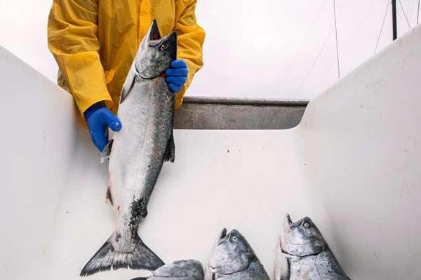 2020 salmon season