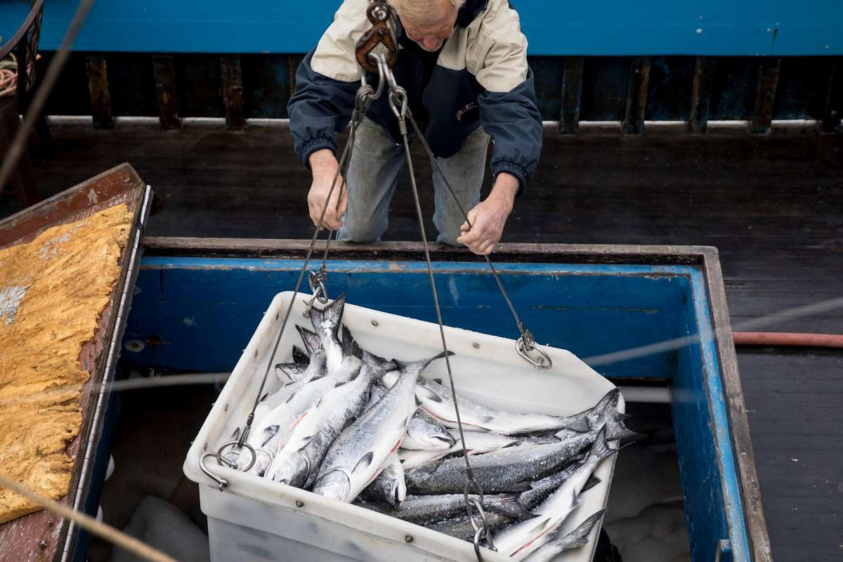 fisherman with salmon catch